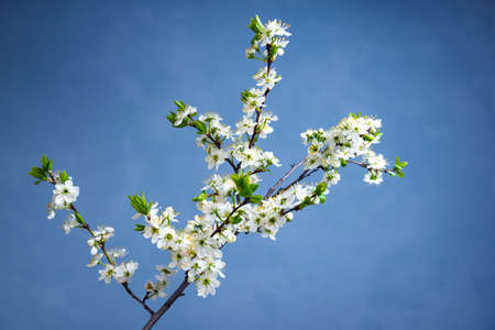 Beautiful spring border, blooming white Bush on a blue background. Blooming plums, cherries on a blue background . Soft selective focus 版權商用圖片
