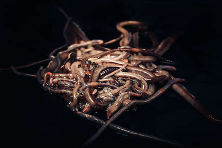 An eerie, huge pile of earthworms on a black background. Close-up, macro, selective focus. 版權商用圖片