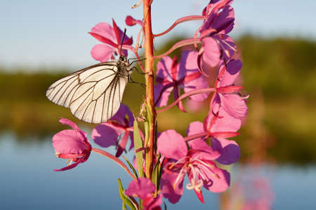 fireweed: butterfly on a flower fireweed Stock Photo