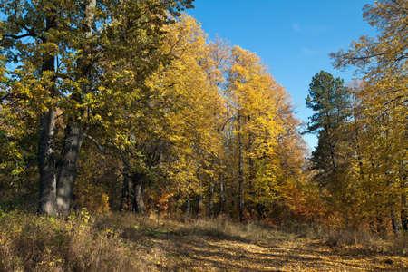 tilo: Tilo entre las hojas caídas