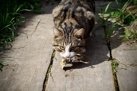 tabby cat with caught bird Stock Photo