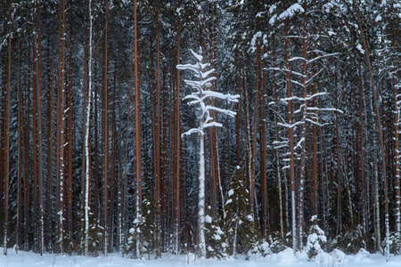 forground: Winter pine forest and a single tree in the forground