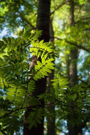 eberesche: rowan branches in the sunshine