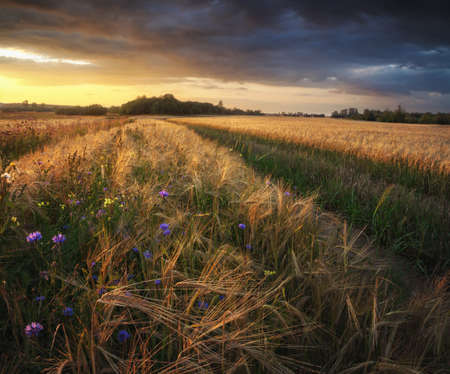 field sunset: wheat field at sunset Stock Photo