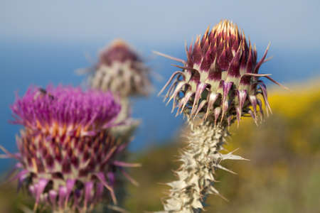 bud weed: Thistle flower close up