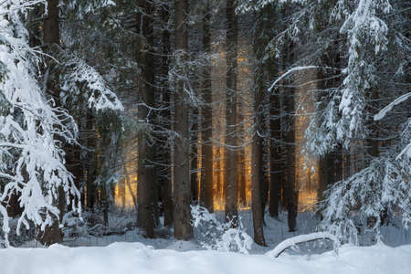 Dense spruce forest covered with snow and warm sunlight in the background