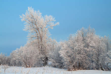 Trees covered with rime in a frosty winter day