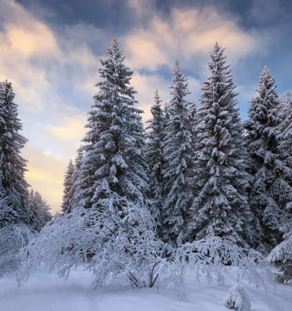 winter coniferous forest covered with snow