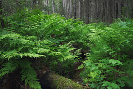 thick ferns on the banks of a forest stream