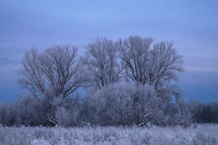 twilight in the poplar grove covered with frost