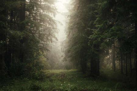 mattina nebbiosa nella foresta di conifere