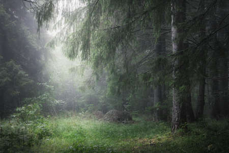 moody misty coniferous forest close up