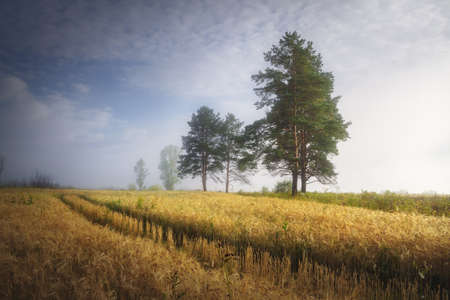 misty summer morning in the field