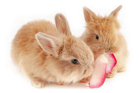 Two little red rabbits chew the rose-petal is isolated at white background, short focus