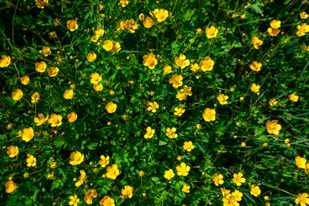 Sunlight meadow yellow buttercup
