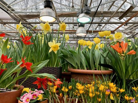 Daffodils, tulips and crocuses in the greenhouse at the exhibition.