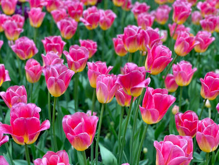 Many pink tulips grow in the flower bed.