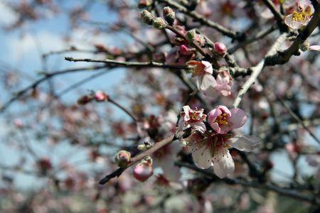 Almond tree Stock Photo - 4543019