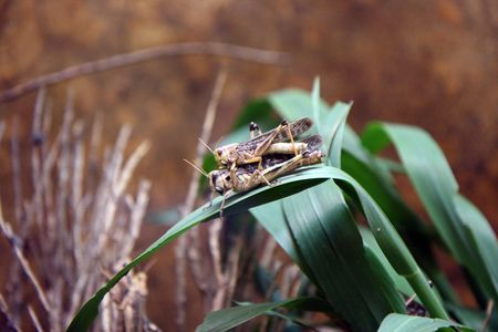 Grasshoppers couple photo
