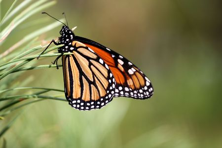Monarch butterfly on a pine tree  Stock Photo