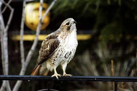 A falcon sits on a fence in the city of New York photo