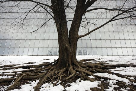 A lonley tree with huge roots in the snow of Central park photo