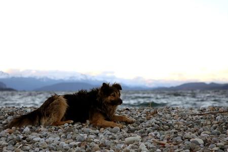 nahuel huapi: Dog at Nahuel Huapi lake at  sunset in Bariloche, Argentina