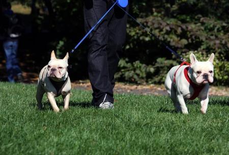 aggressively: Due cani in una passeggiata con il loro proprietario