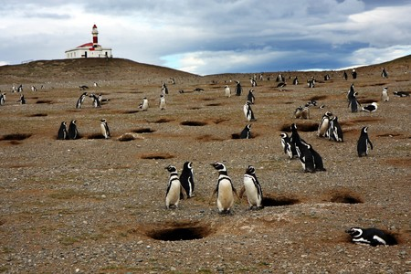 Magellan penguins on an island with a lighthouse in Chile   photo