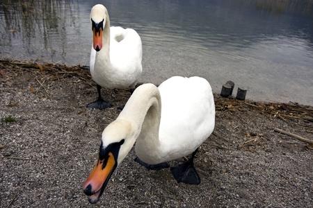 Two white swans on a lake  photo