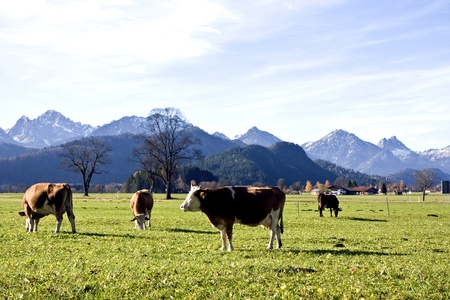 monta�as caricatura: Felices vacas alem�n sobre hierba verde