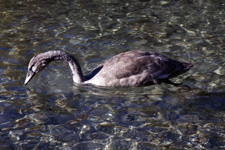 A head of a grey swan in a lake water photo