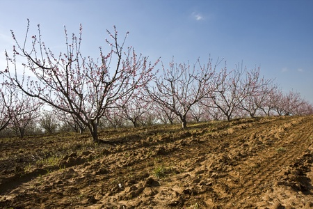 Landscape with fruit trees with flowers in Israel in winter photo