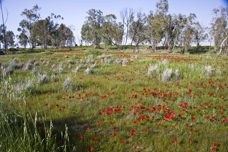 Trees and red Anemone flowers view in Israel in winter Stock Photo - 12417865