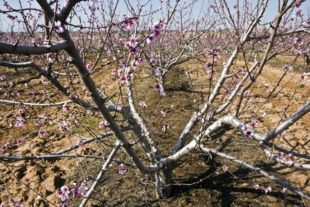 israel farming: Landscape with fruit trees with flowers in Israel in winter