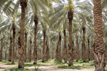 Dates palm plantation in Southern Israel photo
