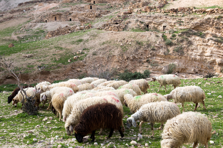 israel farming: Sheep on pasture in Israely mountains in spring Stock Photo
