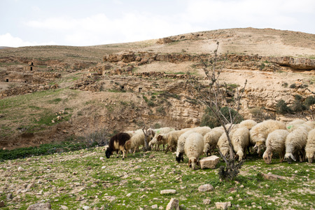israel agriculture: Sheep on pasture in Israely mountains in spring Stock Photo