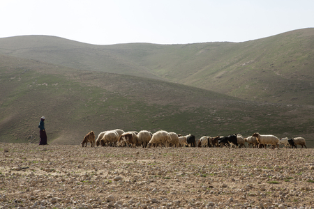 Sheep on pasture in Israely mountains in spring Stock Photo