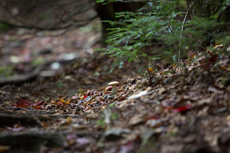 fall mushroom: Roots of trees and mushroom in a forest at fall time