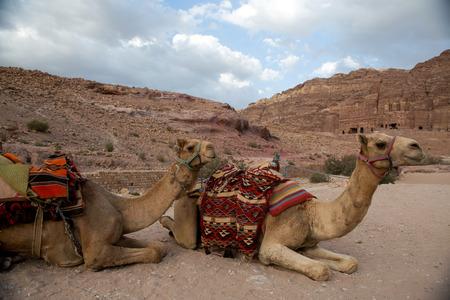 nabataean: Camels in the old Nabataean city Petra, Jordan