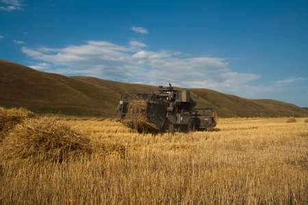 cultivo de trigo: Harvester elimina la cosecha de trigo madura en el campo en el telón de fondo de montañas pintorescas