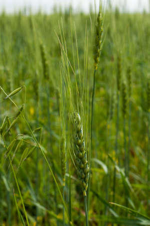 Wheat ears mature on the field.