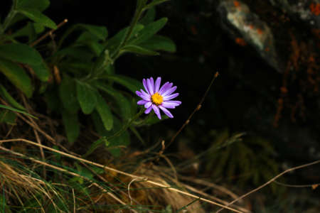 friendless: Small purple flower with a yellow middle on a dark background