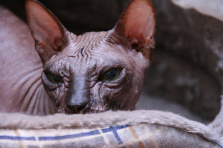 Bald cat breed Sphynx Donskoy is sitting in his house and looking for someone. Cat's eyes. The cat is hiding and waiting, watching the environment. His face is photographed in close-up.