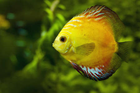 The exotic yellow discus fish swimming in an aquarium photo