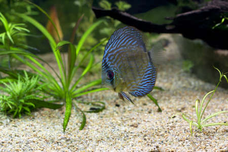 The exotic blue discus fish swimming in an aquarium photo