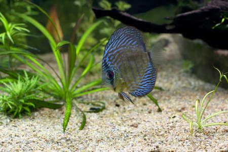 discus fish: The exotic blue discus fish swimming in an aquarium