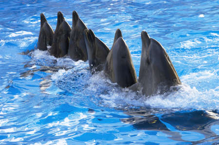 a lot of dolphins dancing in the blue water photo