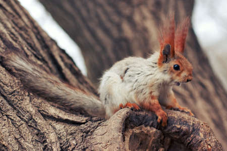 fluffy red squirrel sitting on a tree in the forest photo